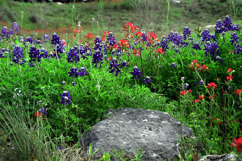 Texas - Austin - Wildflowers 2