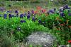 Texas - Austin - Wildflowers 2