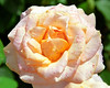 Peach-Yellow Rose