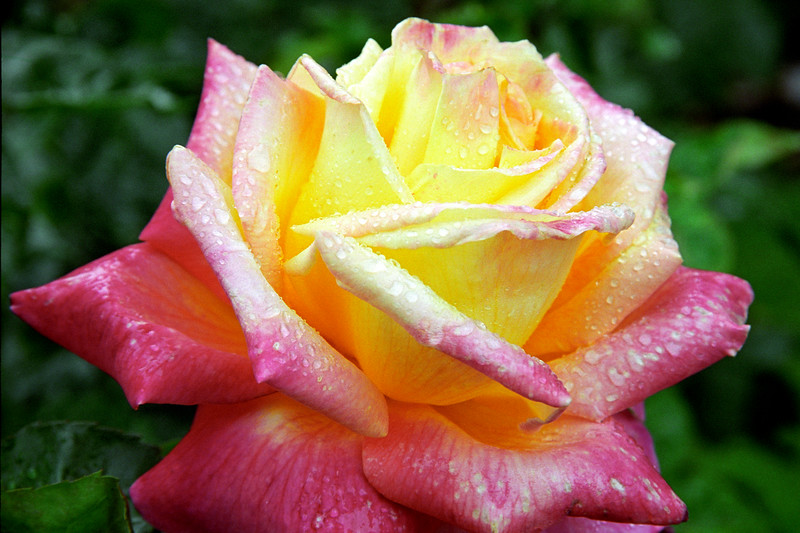 Pink-Yellow Rose with Dew 2