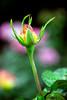 Pink-Yellow Rose Bud
