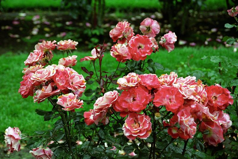 Pink Rose Group 1
