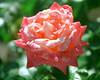 Pink-White Rose 1