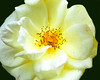 Yellow Rose Center