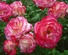 Pink-White Roses with Dew