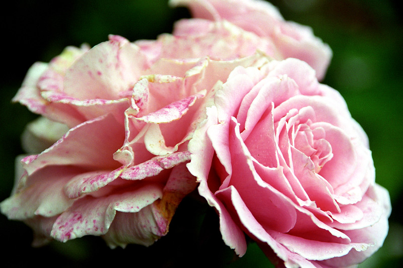 Pink Rose Pair 1