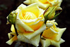 Yellow Rose with Buds