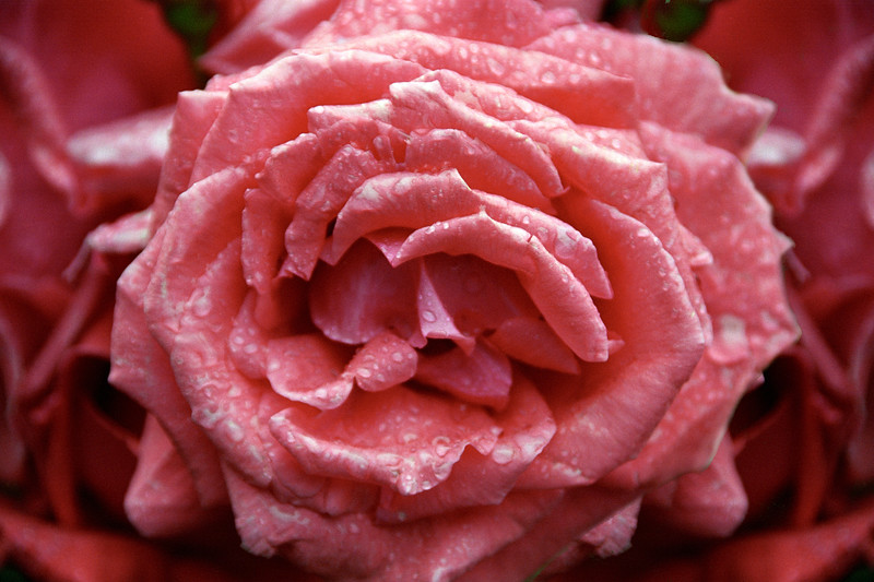 Pink Rose with Dew 2