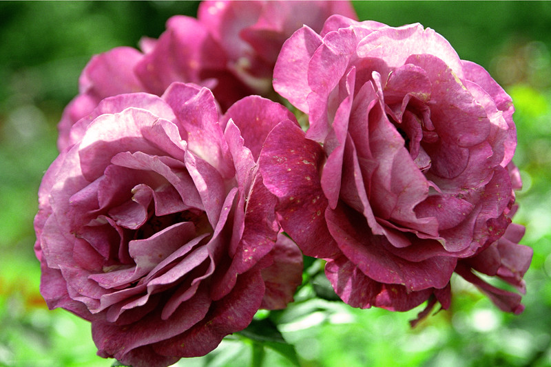 Fuschia Rose Pair