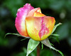 Pink-Yellow Rose with Dew 4