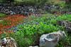 Texas - Austin - Wildflowers 1