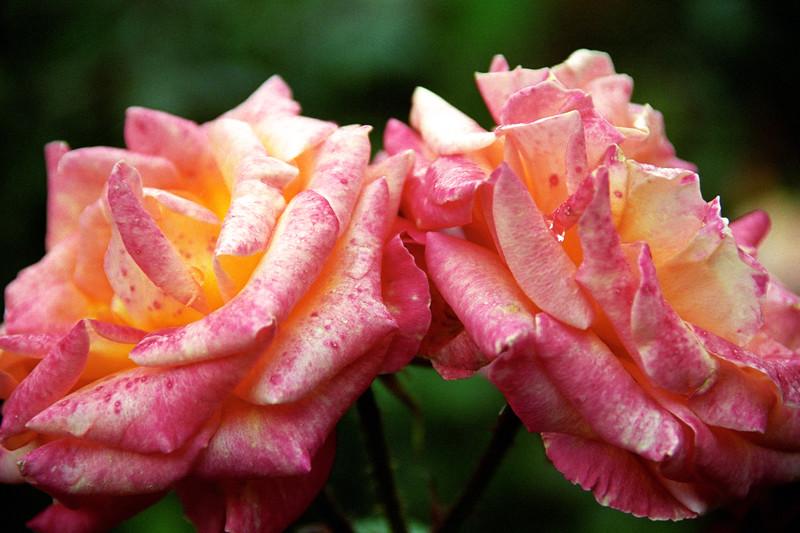 Pink-White Rose Pair