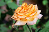 Golden Rose with Dew