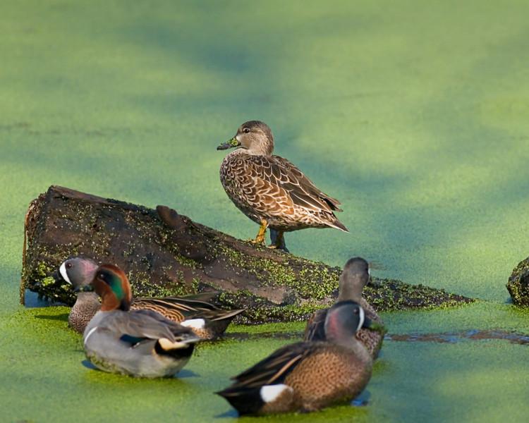 26 - Top Duck
