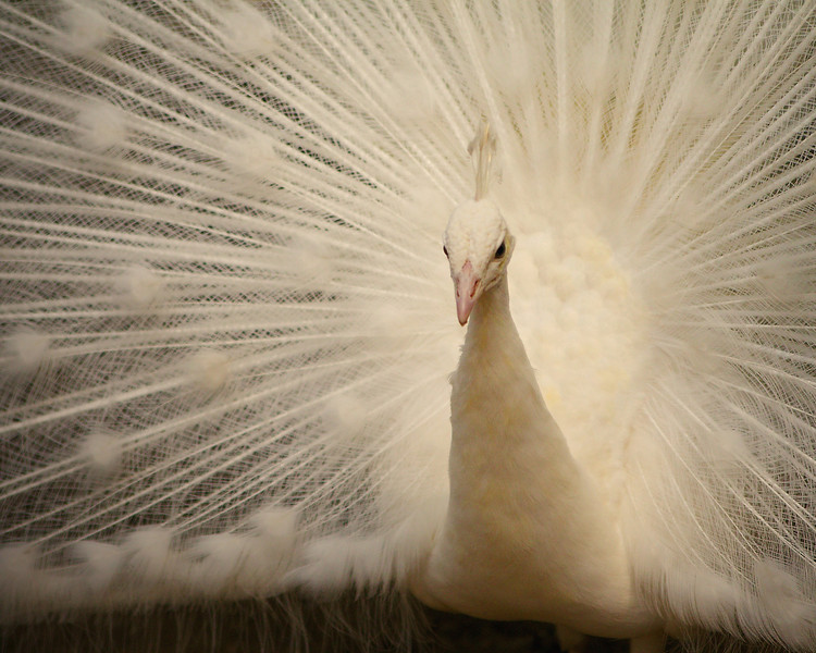 35 - Close up of white peacock