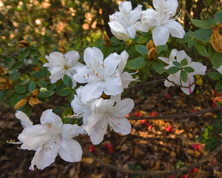 6 - Magnolia flowers