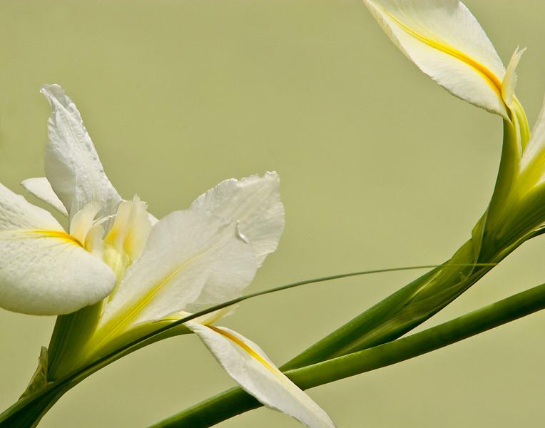 29 - White iris