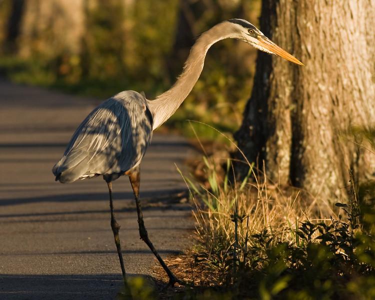 32 - Blue heron