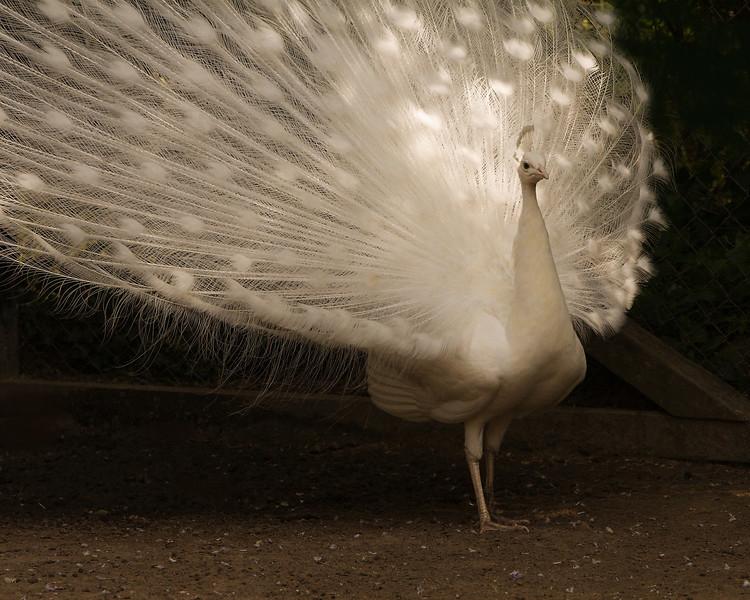 11 -White Peacock