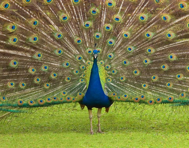 23 - Peacock