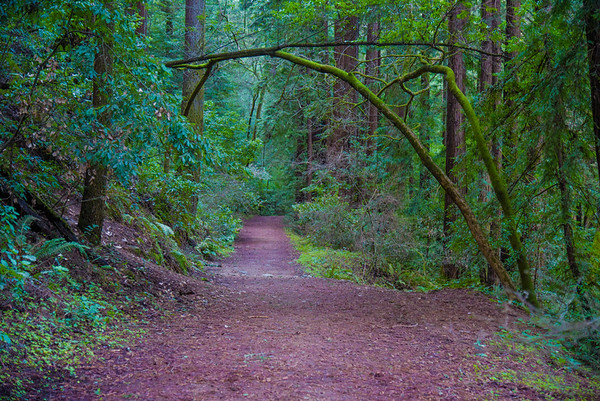 Redwood Trail Of Dreams