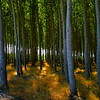 Poplar Tree Forest