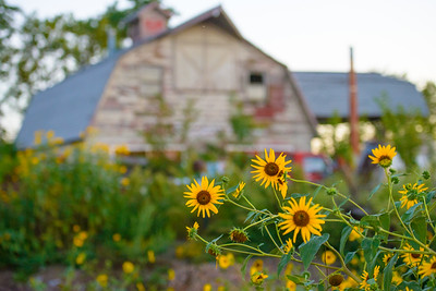 Old Barn & Sunflowers