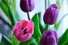 PInk & Purple Tulips