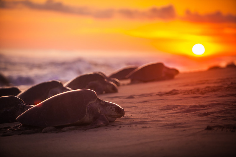 Mexico, 2012: Of the seven species of sea turtles only two perform arribadas, or mass nestings. As a way to overwhelm predators, all the turtles will nest in the same area at the same time. This night there were ~40,000 olive ridley sea turtles that came on the beach to nest.