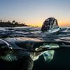 San Diego, CA. 2015: A green sea turtle comes up to breathe outside La Jolla Cove.