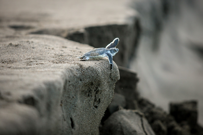 Tortuguero, Costa Rica. Oct 11, 2010. A green sea turtle (Chelonia mydas) hatchling takes a leap of faith as it heads to the sea. An estimated 20 million hatchlings leave the Tortuguero National Park in Costa Rica each year. Only 1 in 1,000 will reach maturity but conservation efforts have allowed the nesting population to rebound 400% since 1959, when the Sea Turtle Conservancy was established.