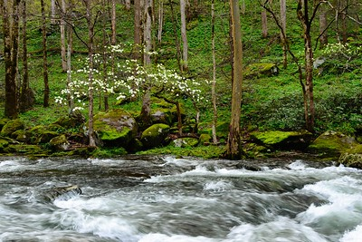 Dogwoods by the River Smoky Mountains