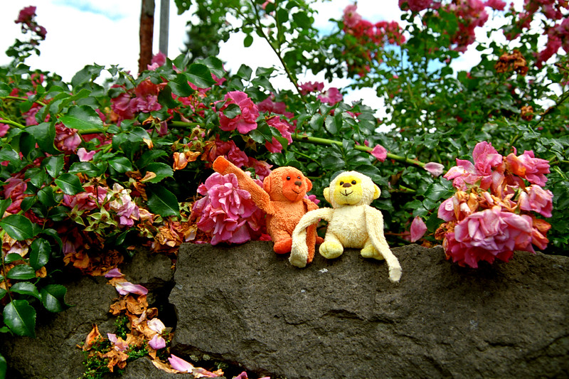 Monkeys in Portland Rose Garden