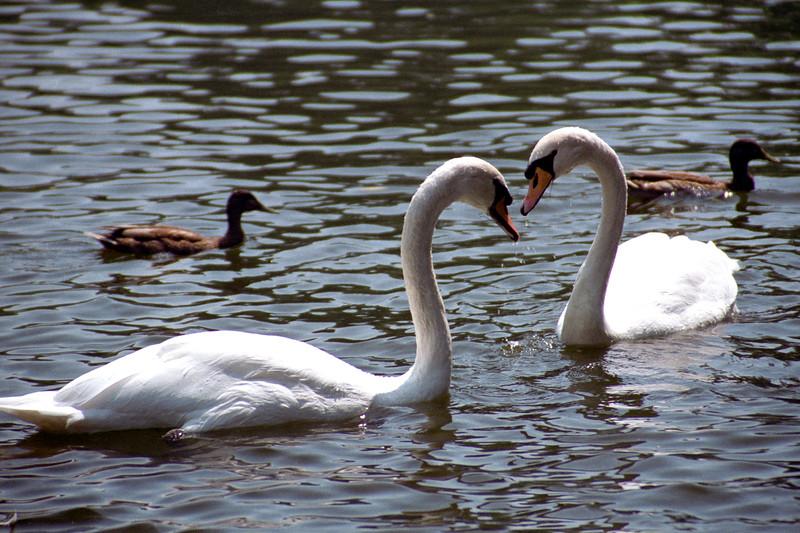 Boston - Love Swans