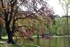 Boston - Public Garden Tree