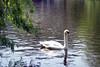 Boston - Public Garden Swan 3