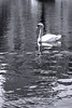 Boston - Public Garden Swan 2bw