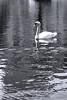 Boston - Public Garden Swan 2bw