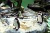 Vancouver, B C  - Penguins on Rocks