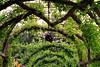 Victoria, B C  - Garden Arches