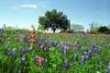 Texas - Austin - Wildflowers 9