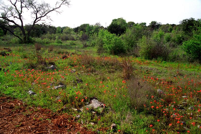 Texas - Austin - Wildflowers 4