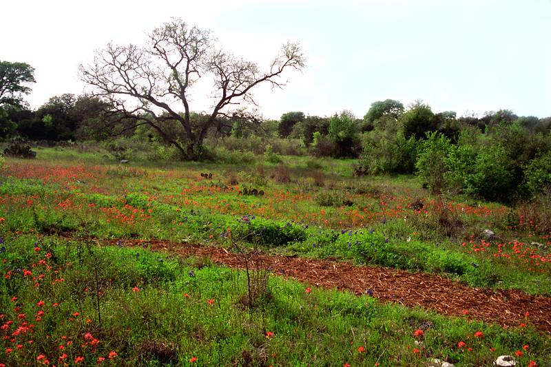 Texas - Austin - Wildflowers 5