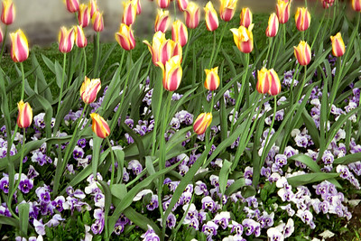 Washington, D C  - Tulips & Pansies