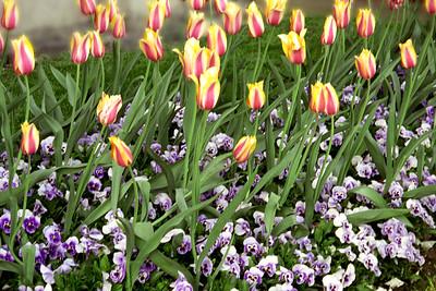 Washington, D C  - Tulips & Pansies