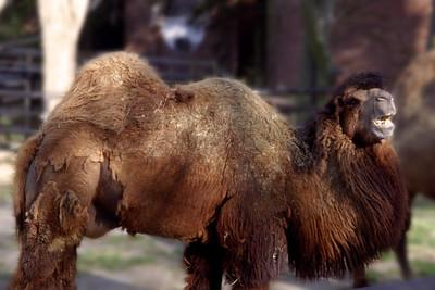 Washington, D C  - Smiling Camel