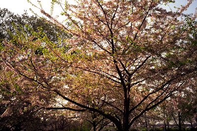 Washington, D.C. - Cherry Blossom Tree