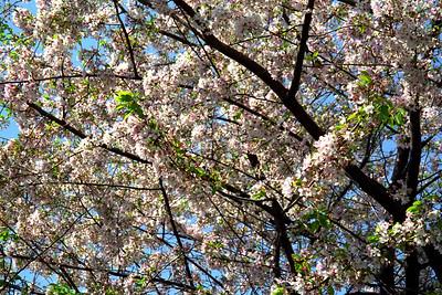 Washington, D C  - Cherry Blossoms