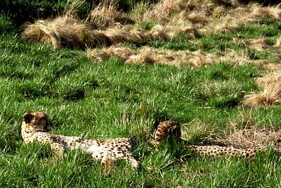 Washington, D C  - Leopards