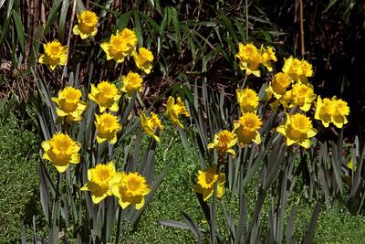 Washington, D C  - Daffodils